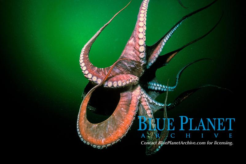 giant Pacific Ocean octopus, Enteroctopus dofleini, British Columbia, Canada, Pacific Ocean