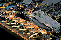ALLIGATOR HEADS for sale at the FRENCH MARKET in the FRENCH QUARTER - NEW ORLEANS, LOUISIANA