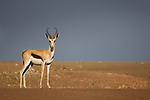 Male Springbok (Antidorcas marsupialis) in late afternoon sunlight with stormy sky behind. Skeleton Coast Park, Namibia.