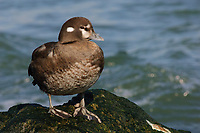 Adult female Harlequin Duck (Histrionicus histrionicus) perched on coastal rocks. Ocean County, New Jersey. February.
