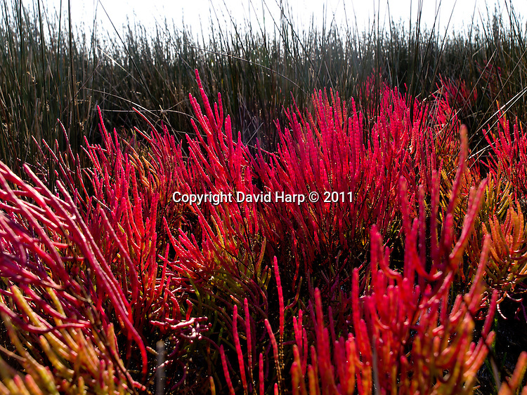 Salicornia shows its fall colors in a Smith Island salt marsh.   It is currounded by black needle rush and splartina grasses.   The vivid green color turns to bright red in fall.