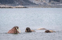 Atlantic walruses, Odobenus rosmarus rosmarus, in water, Smeerenburgfjord, Spitsbergen archipelago, Svalbard and Jan Mayen, Norway, Europe