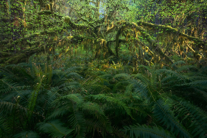 Early morning light gives a soft glow to the reaching arms of this old tree, framed by lush ferns in the Quinault rainforest.<br /> <br /> ARTIST CHOICE: 24x36 Lumachrome/Acylic