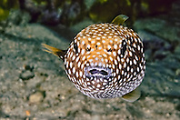 guineafowl puffer, spotted puffer, velcro puffer, Arothron meleagris, at night, Kailua Pier, Kona Coast, Big Island, Hawaii, USA, Pacific Ocean