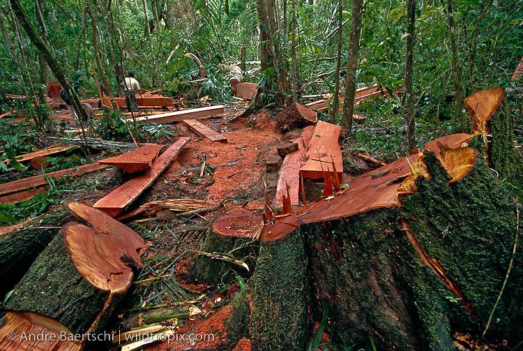 Illegal logging of Spanish cedar (Cedrela odorata) in lowland tropical rainforest along the Las Piedras River, Madre de Dios, Peru.