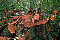 Illegal logging of Spanish cedar (Cedrela odorata) in lowland tropical rainforest along the Las Piedras River, Madre de Dios, Peru.