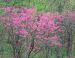 Nelson Dewey State Park, WI<br /> Flowering Eastern Redbud (Cercis canadensis) in a spring hardwood forest