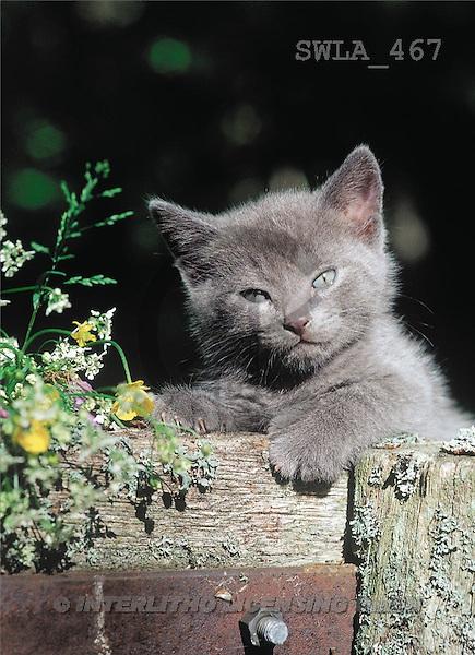 Carl, ANIMALS, photos(SWLA467,#A#) Katzen, gatos