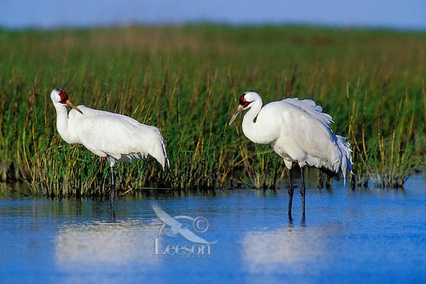 B5995  Whooping Cranes in salt marsh.  Aransas NWR, Texas.  March.