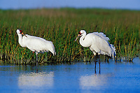 B5995  Whooping Cranes in salt marsh.  Aransas NWR, Texas.  March.