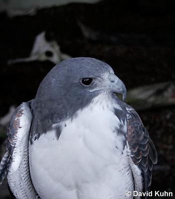 0115-08tt  Injured White-tailed Hawk at Rehabilitation Center - Buteo albicaudatus © David Kuhn/Dwight Kuhn Photography