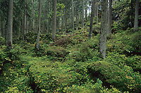 Nadelwald mit viel Unterwuchs, Fichtenwald, Wald