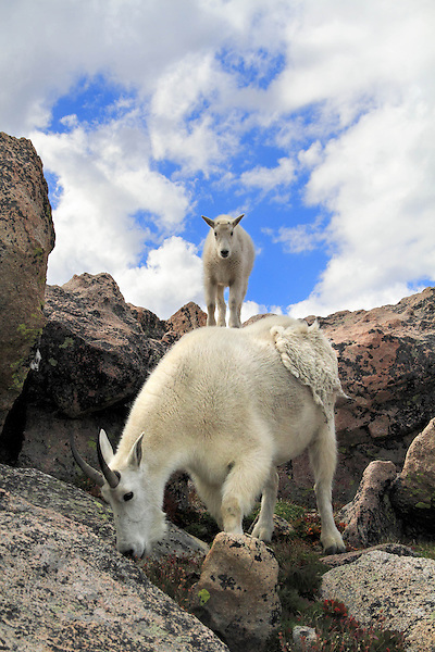 Getty Images exclusive, Mountain Goat nanny (Oreamnos americanus) and kid (baby) on the slopes of Mount Evans (14250 feet), Rocky Mountains, west of Denver, Colorado, USA Guided photo tours. .  John leads private, wildlife photo tours throughout Colorado. Year-round.