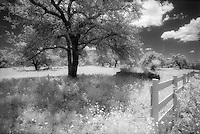 Infrared tree and fence, Llano County, Texas<br /> <br /> Nikon F3HP, 24mm lens, Kodak High Speed Infrared film, red filter