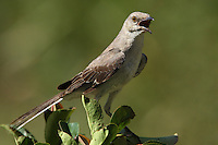 Northern Mockingbird, the Texas state bird.<br /> Gray birds - Colorful personality :)