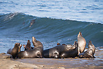 La Jolla, California; several California sea lions basking in early morning sunlight, while resting on the rocky shoreline as other sea lions surf the waves of the Pacific Ocean in the background