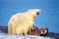 polar bear, Ursus maritimus, mother with cub scavenging a bowhead whale, Balaena mysticetus, carcass, 1002 area of the Arctic National Wildlife Refuge, Alaska, polar bear, Ursus maritimus