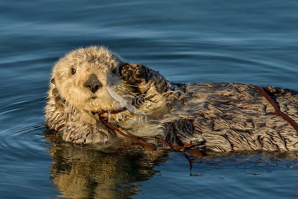 Southern Sea Otter (Enhydra lutris) resting while tied up in kelp.  Central California Coast. Tying up in kelp while resting helps keep the sea otter from drifting off with the tide.