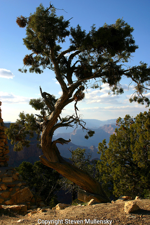 Hermit's Rest. A juniper bends to the forces of nature at the Grand Canyon. Hermit's Rest is the last stop on the rim walk on the south side of the Grand Canyon.