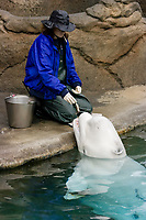 A marine mammal researcher works with a Beluga Whale (Delphinapterus leucas) at the Point Defiance Aquarium in Washington State. Here she feeds the whale a small fish. (do) (no MR)
