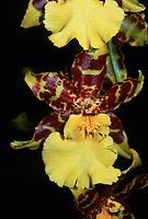 Oncidium aka Odontocidium Isler's Goldregen 'Golden Gate', orchid hybrid of Oncidum Purbeck Gold x Tiger Butter, 1990