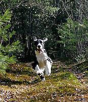 0730-0831  English Springer Spaniel Running, Canis lupus familiaris © David Kuhn/Dwight Kuhn Photography.