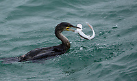 BNPS.co.uk (01202) 558833. <br /> Pic: AlexaPereira/BNPS<br /> <br /> This is the dramatic moment a shark fights for its life as a ferocious cormorant tries to eat it.<br /> <br /> The predatory water bird dived into the sea near Bournemouth pier, Dorset, where it captured the young catshark.  <br /> <br /> Wildlife photographer Alexa Pereira witnessed the brutal encounter as the shark desperately thrashed to escape from the hunter's beak for around five minutes.