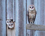 "A pair of barn owls peer out from a barn at their bolder sibling who was first to fly from the nest.<br /> <br /> Keen wildlife photographer Traci Sepkovic, 45 spotted the owlets make their first flight from their nest in the barn to hunt in fields in Mifflin County, Pennsylvania, USA. <br /> <br /> Traci Sepkovic said, ""This pair of barn owls successfully fledged five owlets this year. This moment I captured shows two of the fledglings in the background peeking out of the barn at a third fledgling who just made the short flight from the nest box to a beam on the outside of the barn. They watched until this owl made the longer flight to the silo before they ventured out on their own."" <br /> <br /> ""Eventually all five owlets left the box for a night of hunting the adjacent fields. I was excited to see these little ones make their first flights and start hunting on their own. They all did really well and I am yet again amazed by these incredible owls.""<br /> <br /> Please byline: Traci Sepkovic/Solent News<br /> <br /> © Traci Sepkovic/Solent News & Photo Agency<br /> UK +44 (0) 2380 458800"