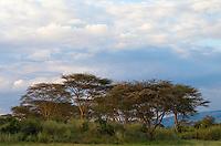 Yellow fever trees (Acacia xanthophloea) in late evening light, Soysambu Conservancy, Great Rift Valley, Kenya