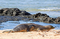 Hawaiian monk seals, Neomonachus schauinslandi, Critically Endangered endemic species, mother and 5-week old pup (will be weaned in 6 days), Larsen's Beach, Moloa'a, Kauai, USA, Pacific Ocean