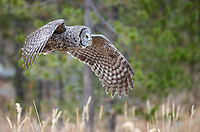 Great Gray Owls were quite active during the latter of my October visits.