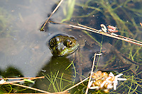 Green Frog Floating in Lilly Pads