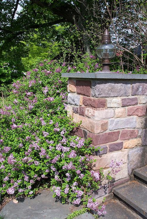 Syringa meyeri Palibin littleleaf lilac shrub next to stone wall entrance garden as foundation planting