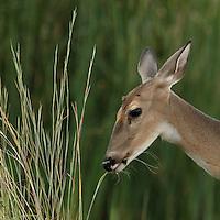 Whitetail doe grazing just after sundown..
