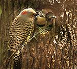 Flicker feeding two chicks.  Taken in Bucks Hollow, the Green Belt in Staten Island.