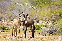 Wild donkeys on the island of Bonaire, Netherland Antilles, Caribbean, Atlantic.