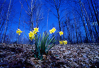 Yellow daffodils winter landscape, #6006.