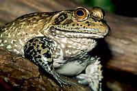 bullfrog, Lithobates catesbeianus or Rana catesbeiana, Lowry Park Zoo, Tampa, Florida, USA