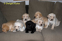 SH38-501z Lab Puppies - Genetic variation, Black, Yellow and White, 6 weeks old..