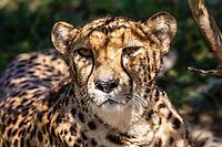 Cheetah, Tenikwa Wildlife Rehabilitation Centre, Plettenberg Bay, South Africa