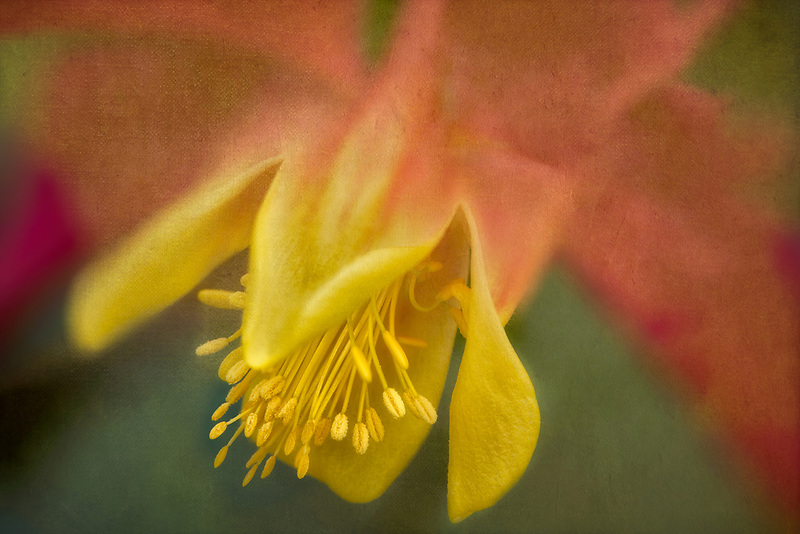 Close up of Musik Red-Gold Columbine