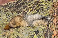 Hoary Marmot (Marmota caligata) resting.  Rocky Mountains.  Sept.