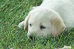Yellow Labrador retriever (AKC) puppy lying in the grass