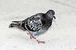 Rock Dove, or pigeon
