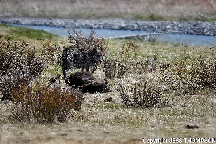 Wolf revisits old carcas in Yellowstone.