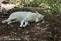 0823-1016  Gray Wolf (Grey Wolf) with White Colored Coat, Canis lupus  © David Kuhn/Dwight Kuhn Photography