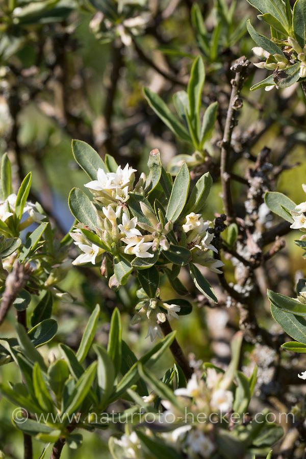 Kaukasischer Seidelbast, Daphne caucasica, Caucasian Daphne