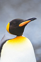 King Penguins (Aptenodytes Patagonicus). South Georgia Island.