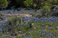 Yucca and bluebonnets in the Texas Hill Country near Lampasas