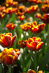 shallow focus image filling the frame with a field of backlit bright orange red tulips, standing straight upright in the late afternoon sunshine, with negative space for text